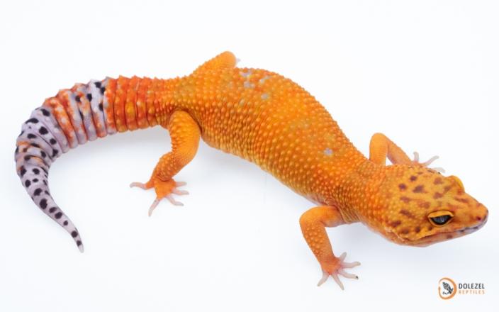 Mandarin Tangerine het Rainwater Albino 66% het NDBE
