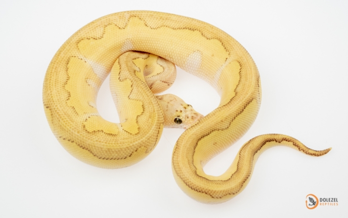 (Super) Pastel Lesser Clown (reduced pattern)