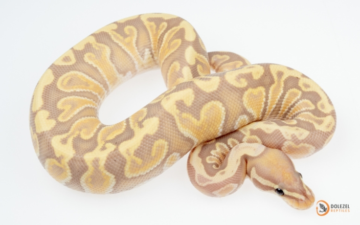 GHI Banana het Clown (male maker)