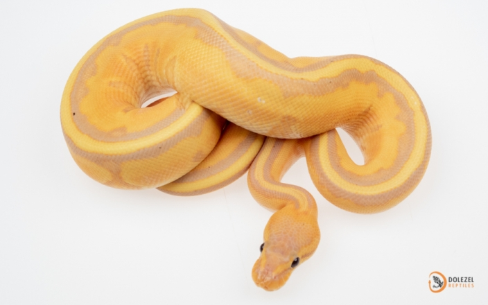 (Enchi) Banana Genetic Stripe (male maker)