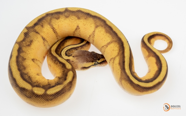 Pastel Enchi Genetic Stripe