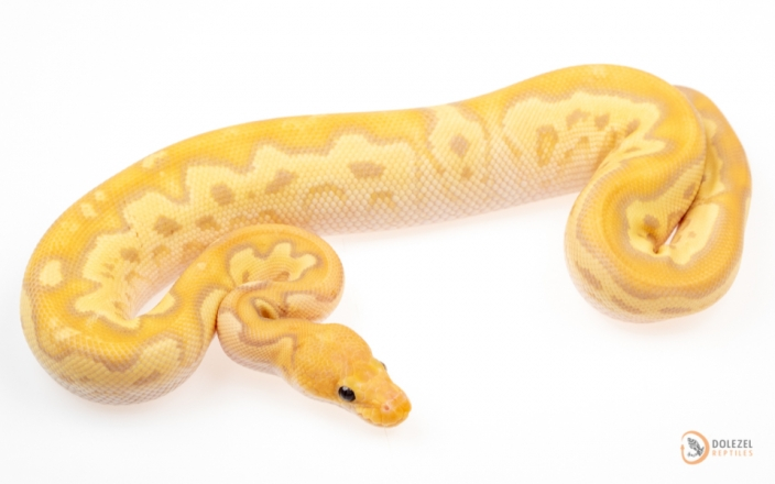 Mojave Banana Clown (male maker)
