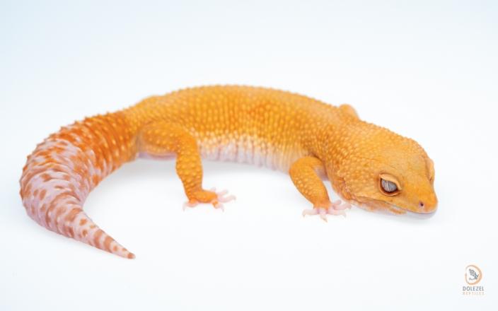 Mandarin Tangerine Rainwater Albino poss het NDBE
