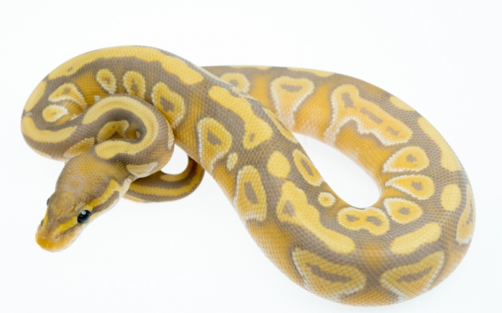 Mojave Banana 100% het Clown