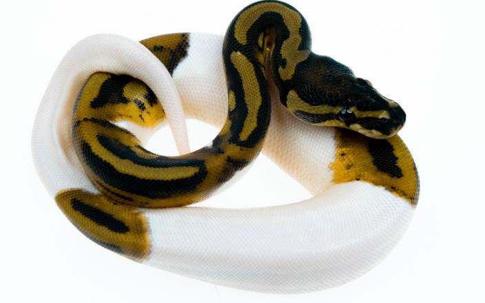 Piebald 100% het Albino